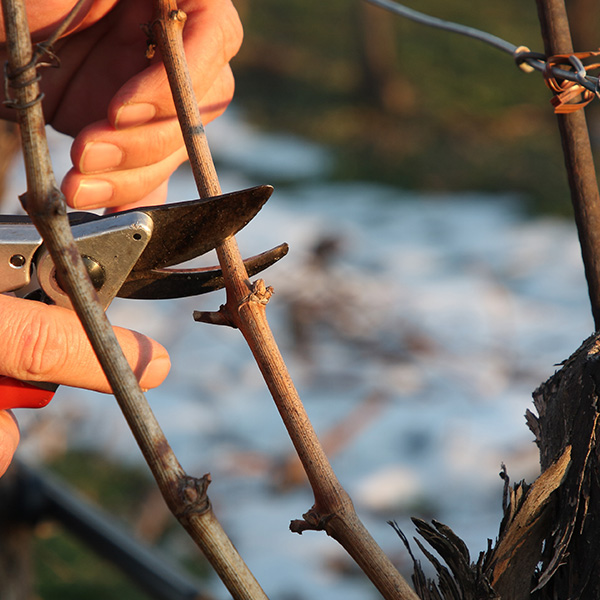 grape vine pruning in winter